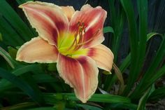 Photo of Daylily (Hemerocallis 'Eccentricity'). Contributed by Newyorkrita. Daylily Garden, Plant Information, Day Lilies, Tropical Flowers, Perennials, Orchids, Bloom, Herbs, Curb Appeal