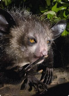 Ай-ай или мадагаскарская руконожка (лат. Daubentonia madagascariensis)  https://www.youtube.com/watch?v=TDSIJjrw1rU