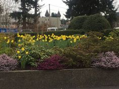 Daffodils in bloom in the driveway Bayside Bistro and Lounge, 240 Dogwood St | Parksville, BC