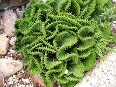 Rare Euphorbia flanaganii cristata- (Green Coral Euphorbia). $9.99, via Etsy.  stevesupergardens.com