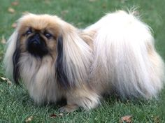 "The Pekingese, or ""Peke"" is an ancient breed of toy dog, originating in China. The breed was favored by the Chinese Imperial court, and its name refers to the city of Beijing where the Forbidden City resides"