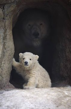 Polar bear & cub.