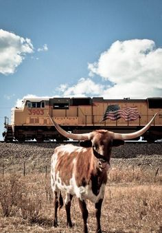Texas Longhorn Granddad Cloud said when they drove the cattle into town you heard the horns clanking. The longest horns have measured at 9 ft across. Train Tracks, Train Rides, Longhorn Cattle, Longhorn Cow, Trains, Union Pacific Railroad, Into The West, Loving Texas, Texas Pride