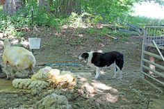 Sheep Shearing Day at Leyden Glen Farm