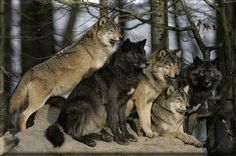 Wolf pack-- absolutely gorgeous