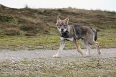 Raven - Saarloos Wolfdog Saarloos, Wolfdog, Beautiful Dogs, Werewolf, Raven, Tattoo Artists, Husky, Animals, Cute Dogs