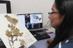 """-Con financiamiento de la CONABIO digitalizan parte del acervo vegetal del Herbario """"Jerzy Rzedowski"""", integrado por más de 35 mil..."""