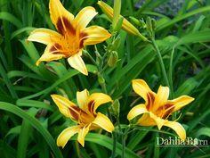Daylily – Bonanza - Dahlia Barn