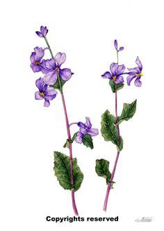 Orychophragmus violaceus. Botanical Art, Botanical painting, Flower painting.