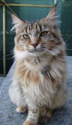 French maine coon called Indian Summer.   /So pretty EL./
