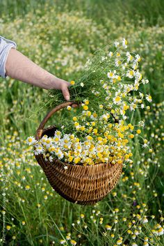 Woman picking camomile / Pixel Stories