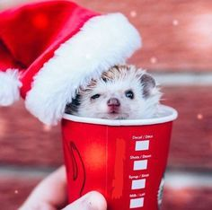 As far as pets go, it is the African pygmy hedgehog that is the most popular. These hedgehogs have a lifespan of around. Super Cute Animals, Cute Little Animals, Cute Funny Animals, Cute Cats, Baby Animals Pictures, Cute Animal Pictures, Animals And Pets, Baby Hedgehog, Pygmy Hedgehog