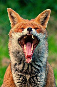 Red Fox What Big Teeth You Have
