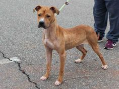 My name is Honey. I am 1 year old. I am a female, red Pit Bull Terrier.I arrived at the shelter on April 17. I am a spunky pup with bundles of energy and in need of a loving new home. Come and see me today!