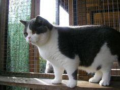 cat-breeds - B - British Shorthair - Page 2