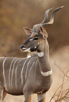 The Lesser Kudu is native to Ethiopia, Kenya, Somalia, Sudan, Tanzania and Uganda.