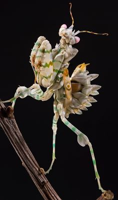 kml:  Pixdaus: Popular Today Pics - Spiny Flower Mantis (Pseudocreobotra wahlbergii) by joow