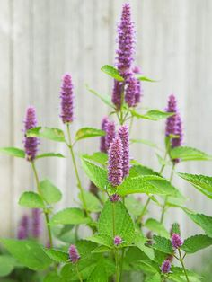 Anise Hyssop An incredibly rugged North American native plant, anise hyssop bears spikes of violet-blue flowers from midsummer to fall. The flowers and the foliage have a decidedly anise scent, hence its common name.  Name: Agastache varieties  Growing conditions: Full sun and well-drained soil  Height: 2-6 feet tall, depending on variety  Zones: 4-10, depending on variety