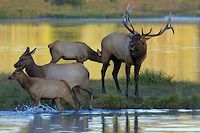 Bull Elk with Cows | Peter Eades Wildlife Photography