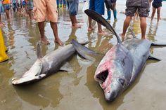 Shark Survival and Human Greed