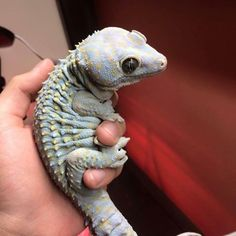 Tokay Gecko                                                                                                                                                      More