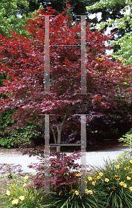Acer palmatum 'Attraction (Atropurpureum Superbum)'  x