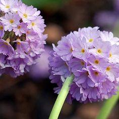 Primula, Kugle-'Lilac Globe'Primula denticulata