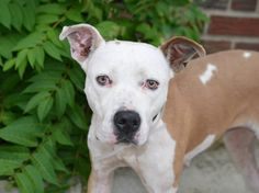 Brooklyn Center - P  My name is YITZHAK. My Animal ID # is A1006548. I am a female tan and white pit bull. The shelter thinks I am about 3 YEARS old.  I came in the shelter as a STRAY on 07/13/2014 from NY 11207, owner surrender reason stated was STRAY. Killed.