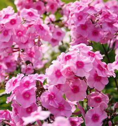 Flame® Pink Dwarf Garden Phlox - Monrovia - Flame® Pink Dwarf Garden Phlox