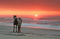 Beautiful Landscape photography : Wild horses on North Carolina's Outer Banks (and that sunrise) Pretty Horses, Horse Love, Beautiful Horses, Animals Beautiful, Pretty Animals, Majestic Horse, Horse Girl, Beautiful Landscape Photography, Beautiful Landscapes