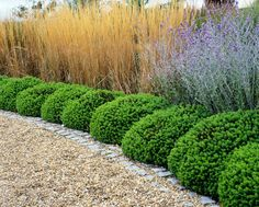 What a fabulous and distinctive hedge! If you are looking for a low maintenance but stylish hedge for your driveway, this might be the one!