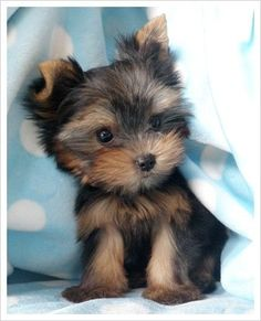 curious yorkie puppy