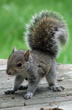 For those people who love cute baby animals, we have made a collection of Top 50 baby cute animals. Baby Animals Pictures, Cute Baby Animals, Animals And Pets, Funny Animals, Wild Animals, Spring Animals, Cute Squirrel, Baby Squirrel, Squirrels