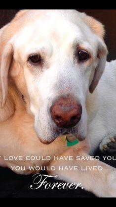 Yellow Labrador retriever - Julius