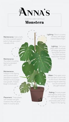 Monstera Plant Care - Plants - You are in the right place about growing indoor flowers Here we offer you the most beautiful pictu - House Plants Decor, Plant Decor, Garden Plants, Indoor Plants, Ivy Plants, Indoor Flowers, Indoor Gardening, Plantas Indoor, Decoration Plante