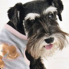 Miniature Schnauzer | Flickr - Photo Sharing!