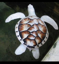 An albino turtle, living in a sanctuary in Sri Lanka. Albino animals often struggle to survive in the wild, as their lack of pigment makes them an easy target for predators.