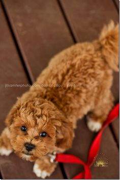4 month old #maltipoo #dogs #cute