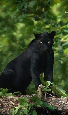 NATURE LEOPARD BLACK