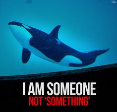 Orcas at  SeaWorld are RIPPED from their families, FORCED to perform unnatural 'tricks,' SEXUALLY ABUSED & spend their lives stuck in CAPTIVITY.   Tell Tournament of Roses to STOP celebrating TORTURE & CANCEL $eaWorld's RoseParade float, TODAY:  http://peta2.me/2jl86 - via peta2's photo on Google+