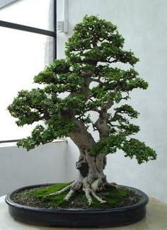 Bonsai Images - U.S. National Arboretum - Page 20