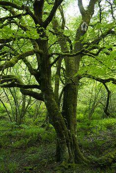 Reserva natural de Muniellos, donde árboles milenarios te esperan...