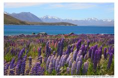Lake Tekapo-New Zealand and wild flowering lupins