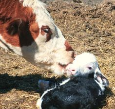 Mama cow cleans off her newborn calf !