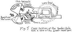 Fig. 4 Cross section of the speaker chela with a view of the lower facial lever.
