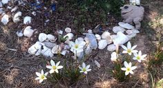 Rain Lilies - make believe pond with my frog.