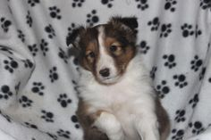 Sheltie Puppies For Sale, Cute Puppies For Sale, Almost Ready, Corgi, Homes, Animals, Nice, Corgis, Houses