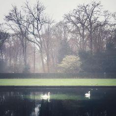 Foggy swan lake