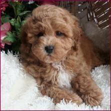 Future Bich Poo Puppy Franzia In At Audrey Gohs Honor Looking