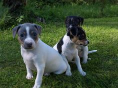 Brazilian Terriers are friendly and good with kids, however they do not prefer to be teased.